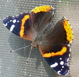 Salute to the Red Admiral <i>(Vanessa atalantas)</i>