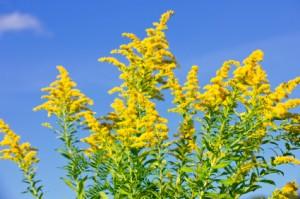 September's Gold in the Shenandoah Valley