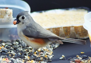 Photo of tufted titmouse by Maria Corcacas