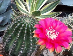 Photo of bright pink cactus bloom by Karen S. Elliott