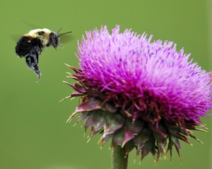 Photo by Golden Czermak of bee landing on thistle flower