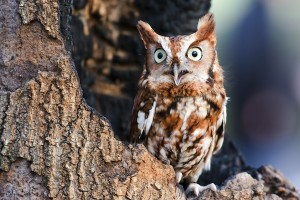 Eastern Screen Owl sitting in tree