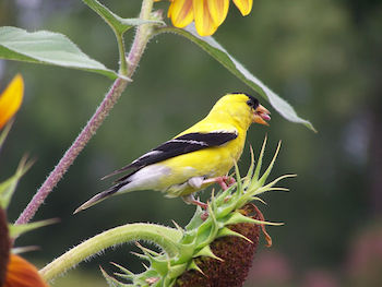 Photo of male goldfinch on sunflower