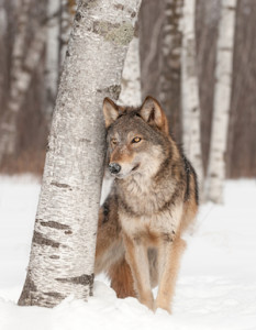 Nature's Amazing Web Of Interconnectedness: Wolves Regenerate Ecosystems In Yellowstone