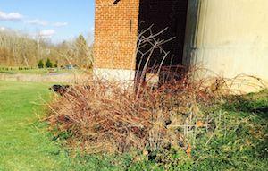 Winter reddish stalks of wineberry bushes