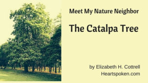 Meet My Nature Neighbor: The Catalpa Tree
