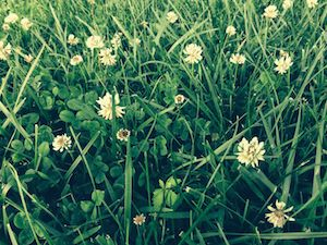 Clover blossoms in the grass