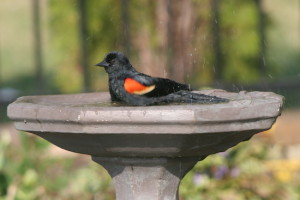 Red-winged blackbird in birdbath