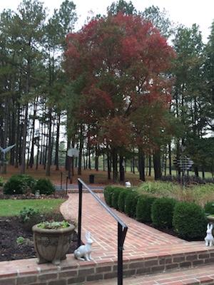 Crimson maple