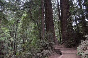 path through redwood trees