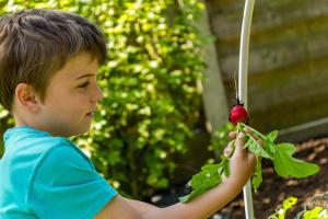 boy harvesting radish