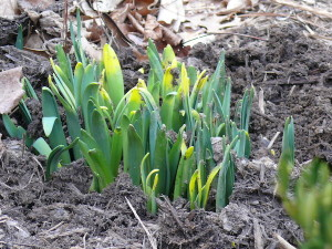 Green tips of spring bulbs pushing up through the dirt