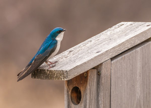 A tree swallow perched on a nesting box.