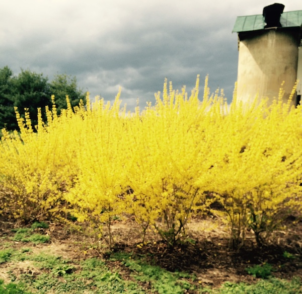 Forsythia blooming under gathering storm clouds