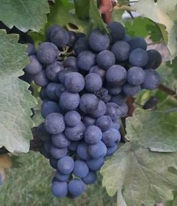Grapes-byRodShepherd-Cave Ridge_300