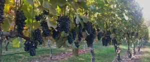 7 Spiritual Growth Lessons Learned From My Grapevines
