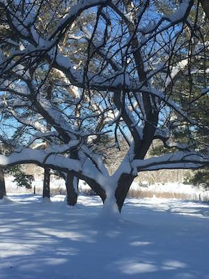 ChestnutTree-Snow