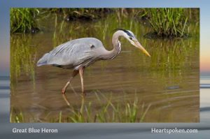 Great Blue Heron in Marsh - Wendell Berry poem