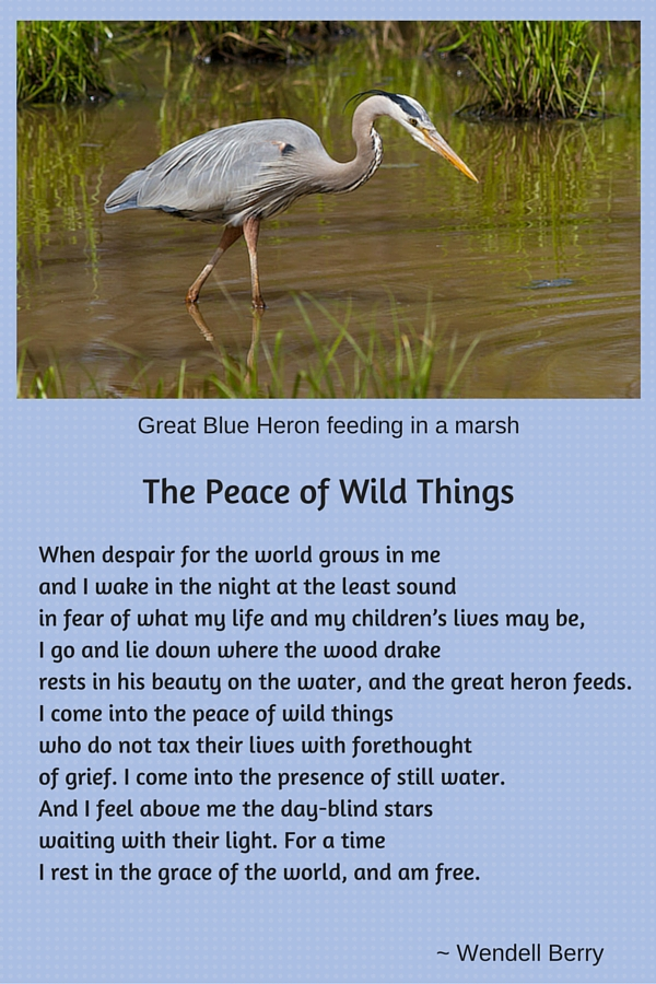 Photo of Great Blue Heron over poem by Wendell Berry