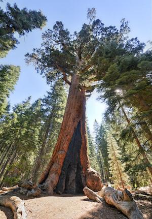 Giant Sequoia, Yosemite