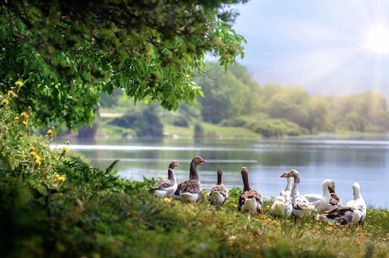 connect with nature - geese, lake, sunlight