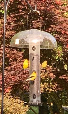 Tube feeders with male goldfinches