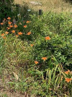 Daylilies - summertime