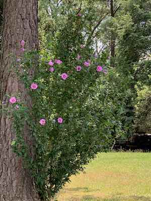 Rose of Sharon - summertime