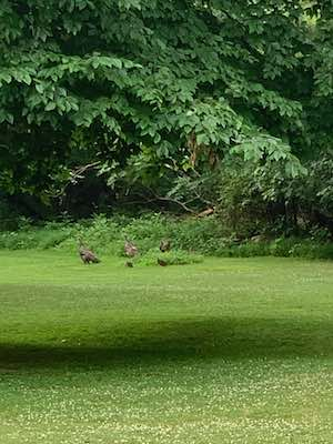 Wild turkeys and chicks #3 - summertime