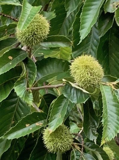 Chestnut husks, early September