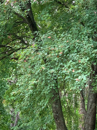 Spots of color in the Crimson Maple tree, early September