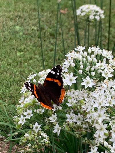 Red Admiral Butterfly on blooming chives