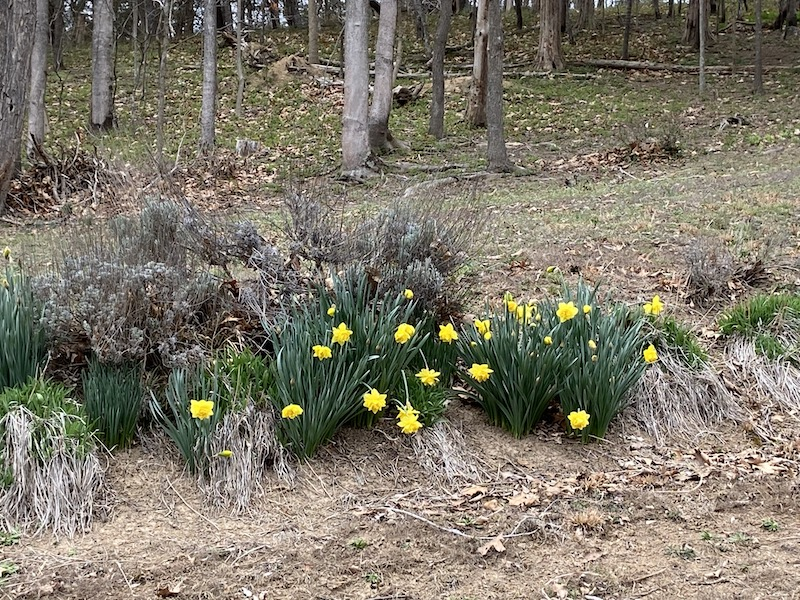 Daffodils in the Shenandoah Valley