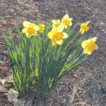 Daffodils at Riverwood
