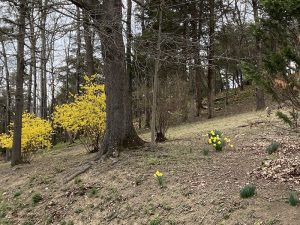 Forsythia and daffodils. Springtime in the Shenandoah Valley