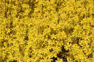 Forsythia Detail March Riverwood